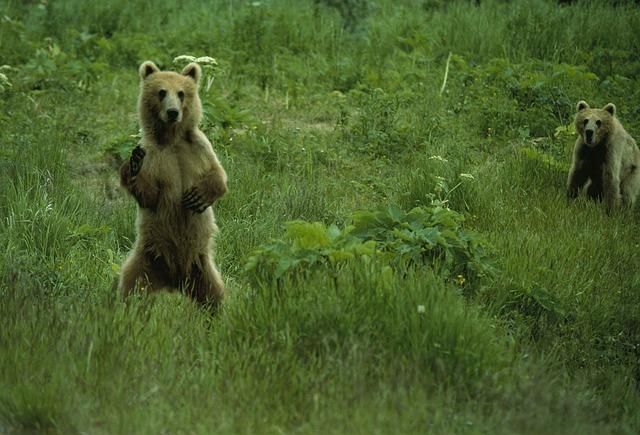 dva medvědi