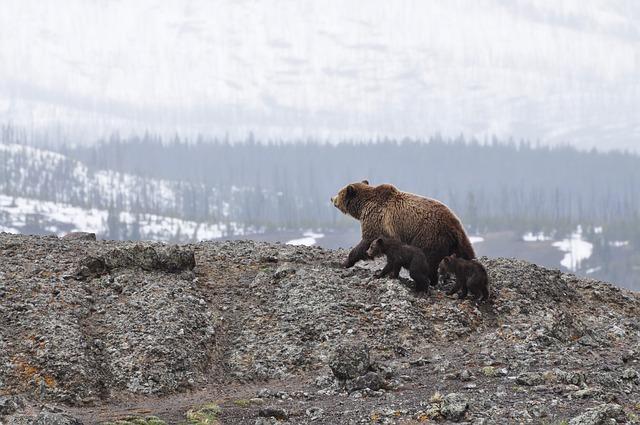 medvěd a mláďata