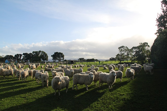 Stádo ovcí